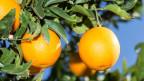 Reife Orangen an einem Baum.