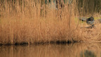 Ein Stück Uferland mit Schilf bewachsen.