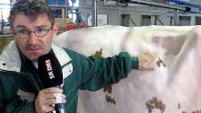 Audio ««Kühe sind sehr ehrliche Wesen»» abspielen