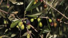 Audio «Olivenöl: Ein Produkt mit viel Schärfe, Bitterkeit und Politik» abspielen