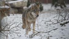 Audio «Der Wolf unter uns» abspielen