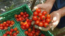 Audio «Tomaten der Ausbeutung: Arbeitsbedingungen der Landarbeiter» abspielen