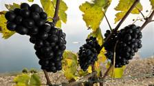Audio «Weinbau in Zeiten des Klimawandels» abspielen