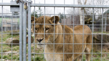 Audio «Schluss und aus: Der Raubtierpark Subingen muss weg» abspielen