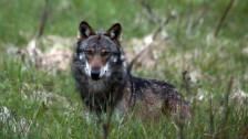 Audio «Goms verlangt Abschusserlaubnis für Wolf» abspielen