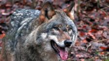 Audio «Walliser Wolf wird abgeschossen» abspielen
