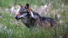 Audio «Wolf im Walliser Obergoms geschossen» abspielen