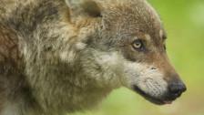 Audio «Das Wallis will keine Wolf-Safaris» abspielen