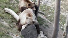 Audio «Berner Bären sind in die Sommerferien verreist» abspielen