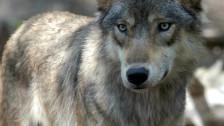 Audio «30 tote Schafe im Wallis gehen auf das Konto eines Wolfs» abspielen