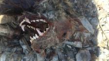 Audio «Rätsel gelöst: Totes Tier im Wallis ist ein erschossener Wolf» abspielen