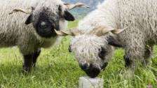 Audio «Wallis gibt sich klare Regeln, um Schafe vor dem Wolf zu schützen» abspielen