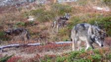 Audio «Im Wallis kann ein Jungwolf abgeschossen werden» abspielen
