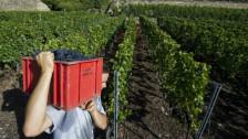 Audio «Pestizideinsatz: Kontrollen nicht für alle Walliser Winzer gleich» abspielen