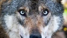 Audio «Unmut über den Wolf im Kanton Uri» abspielen
