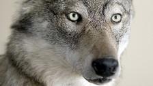 Audio «Die Angst vor dem Wolf im Walliser Goms» abspielen