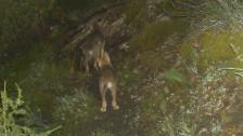 Audio «GR - Wolf im Calanda-Gebiet mit GPS unterwegs» abspielen