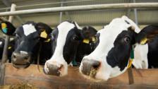 Audio «Antibiotika: Stärkere Überwachung der Tiermedizin» abspielen