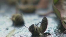 Audio «Migros wegen Bienenschutz-Versprechen in der Kritik» abspielen