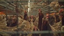 Audio «Im Guetzli können Eier aus Käfighaltung stecken» abspielen
