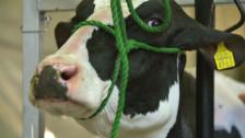 Audio «Viehschau: Noch immer werden Kuhzitzen mit Sekundenleim verklebt» abspielen