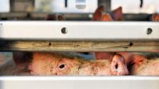 Audio «Schweinehaltung: Tierschutz schlägt Alarm» abspielen