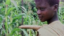 Audio «Kritik an Branchenverein für «nachhaltigen Kakao»» abspielen