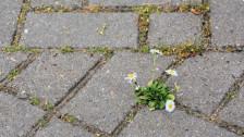 Audio «Einsatz von Herbiziden: Hobby-Gärtner riskieren hohe Busse» abspielen