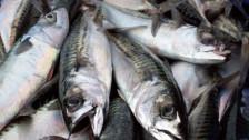 Audio «MSC zieht Zertifikate für Sardinen und Makrelen zurück» abspielen