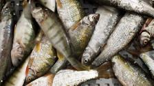 Audio «Und das Plündern dauert an: Die Überfischung der Weltmeere» abspielen