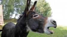 Audio «Der sprechende Esel» abspielen