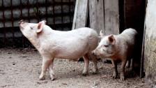 Audio «Schweine – Ein Porträt» abspielen