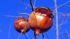 Audio ««Ob die Granatbäume blühen» von Gerhard Meier» abspielen