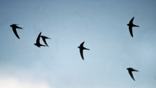 Audio «Leben in der dritten Dimension – über die Evolution des Fliegens» abspielen