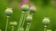 Audio «Die reiche Geschichte des Opiums» abspielen