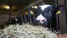 Audio «Wie sehr schaden Kühe dem Klima?» abspielen