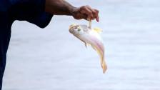 Audio «Der Victoriabarsch - vom Problemfisch zum Ökoprodukt:» abspielen
