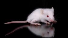 Audio «Maus hilft Krebspatient» abspielen