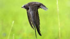 Audio «Sommerserie 6/7: Fliegen – die Wissenschaftsredaktion hebt ab – der Mauersegler» abspielen