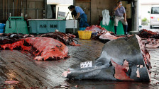 Audio «Walfangverbot für Japan» abspielen
