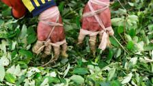 Audio «Nachfrage nach kolumbianischem Kokain steigt» abspielen