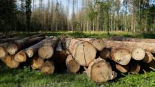 Audio «Polen: Illegale Abholzung im letzten Urwald Europas» abspielen