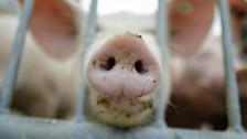 Audio «Massnahmen gegen die Schweinepest» abspielen
