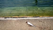 Audio «Hitze: Schweizer Fische sterben tonnenweise» abspielen