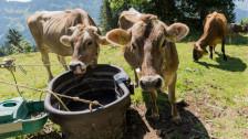 Audio «Bauern lassen Kühe schlachten» abspielen