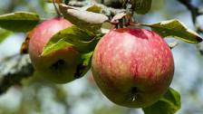 Audio «Am Tag des Apfels auf einer Obstplantage» abspielen