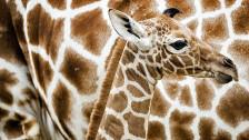Audio «Giraffen vom Aussterben bedroht» abspielen