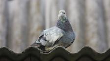 Audio «Tipps gegen gurrende Tauben auf dem Fenstersims» abspielen