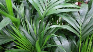 Audio «Beliebte Zimmerpflanze: Die Kentiapalme ist pflegeleicht» abspielen.