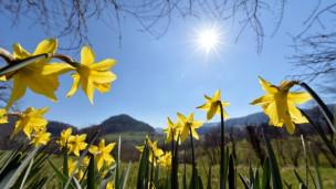 Audio «So bringen Sie Osterglocken aus dem Topf im Garten zum Blühen» abspielen.